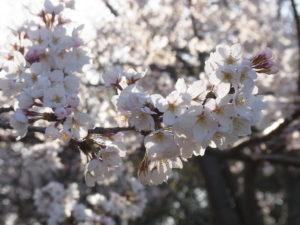 明石城 桜